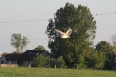 An owl sweeps over Graham Lark's field, off Pymoor Lane, Pymoor, looking for prey, 2012.