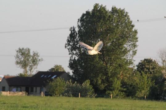 An owl sweeps over Graham Lark's field, off Pymoor Lane, Pymoor, looking for prey, 2012.