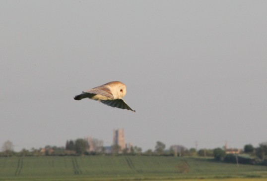 An owl sweeps over Graham Lark's field, off Pymoor Lane, Pymoor, looking for prey. Ely Cathedral can be seen in the distance, 2012.