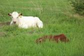 Chris Nye grazes some of his cattle on Graham Lark's field off Pymoor Lane, Pymoor, 2012.