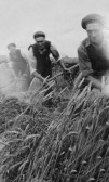 Jimmy Drawback, Mike & Jim Martin mowing the Barley on Dunkirk Farm, Dunkirk, Pymoor.