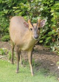 A Muntjac deer in a garden in Pymoor Lane, Pymoor, 2012.