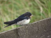 A House Martin on a fence in Pymoor.