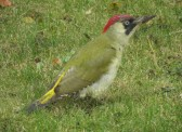 Green Woodpeckers are frequently seen in Pymoor. 2013
