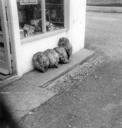 Mangelwurzels outside Barkers Shop in Main Street, Pymoor. 1958