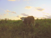 Cattle graze in the evening sunshine on the Hundred Foot Bank at Oxlode, Pymoor, 2009.