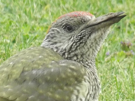A Green Woodpecker in Pymoor 2014