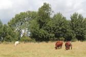 Cattle grazing in a field alongside Pygore Drove, Pymoor 2014