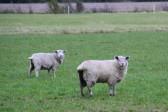 Sheep in Tony Rudderham's field off Pymoor Lane, 2014.