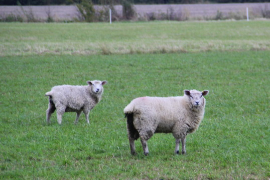 Sheep in Tony Rudderham's field off Pymoor Lane, 2014.