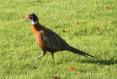 This time of year there are many pheasants in Pymoor, Nov. 2014
