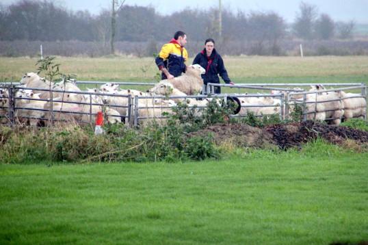 Sheep in a pen in Tony Rudderham's field off Pymoor Lane, 2014