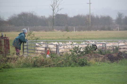 Sheep in a pen in Tony Rudderham's field off Pymoor Lane, 2014