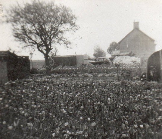 Tulips in the garden on the corner of Pymoor Lane and Main Street, circa 1950