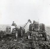 Dennis Hall harvesting beet in Pymoor, circa1950