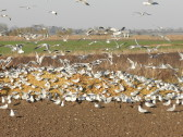 Gulls feeding in a field off Pymoor Lane 2015