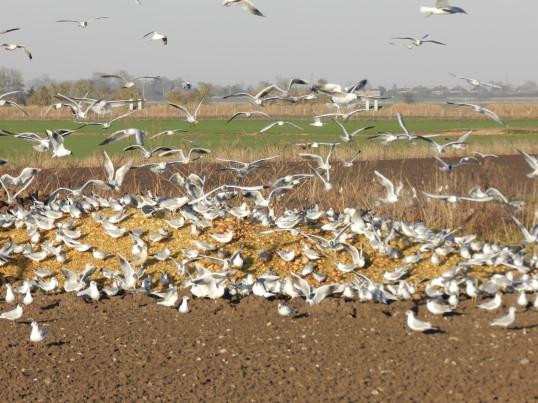 Gulls feeding in a field off Pymoor Lane 2015