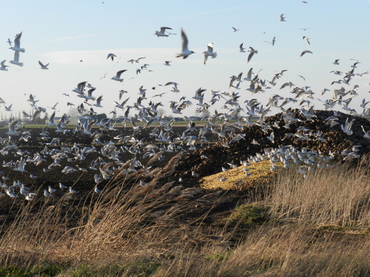 Gulls feeding in a field off Pymoor Lane. 2015