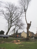 Tree Felling in Pymoor Lane, 2015