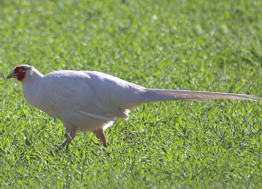 A White Pheasant in Pymoor, 2015