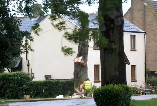 The felling of a Horse Chestnut tree in Pymoor Lane, Pymoor, 2014 (Video)