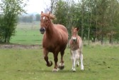Suffolk Punches, Willow and Whisper in Pymoor, 2009 (Video)