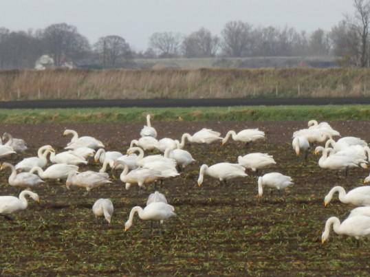 Swans Feeding on a beet field off Pymoor Lane Pymoor 2015