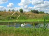 Swan on a Lake in Pymoor Lane, Pymoor, 2008