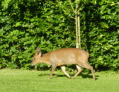 This Muntjac deer is a frequent early morning visitor to gardens in Pymoor, 2016