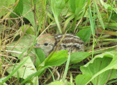 A baby Partridge nestles in the undergrowth in Pymoor, 2016