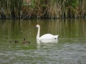 Swan on the lake at Widgeon House, Dunkirk, near Pymoor, 2016