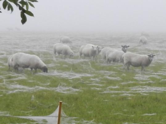 Sheep in a field on a frosty morning in Pymoor Lane, Pymoor, October 2016