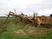 Tree felled by 80mph winds as Storm Doris swept through Pymoor, 2017