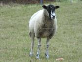 Sheep in a field off Pymoor Lane, Pymoor, 2016