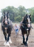 Horses ploughing at the Ramsey Rural Museum Plough and Contry Fair Day (courtesy Julia Sutherland)