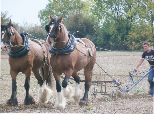 Horses ploughing at the Ramsey Rural Museum Plough and Country Fair (courtesy J Sutherland)