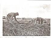 Charles William & Harriot Howard (nee Lane) .Tying corn on Mereside farm, owened by Mr John Whittome.