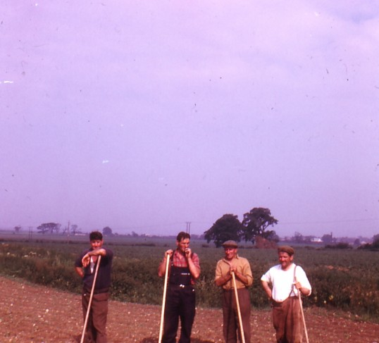 Stanly Bass, Reginald Fountain, Tom Greenwood and Leslie Complin hoeing the sugarbeet on Ramsey Mereside Farm.