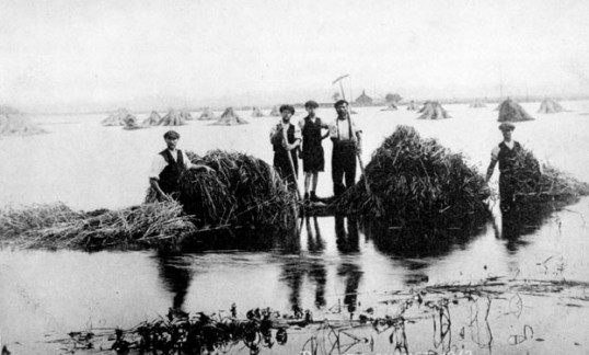 Harvesting along St.Mary's Road, Ramsey during the 1912 floods
