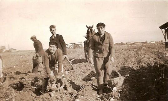Potato Picking in the Fens around Ramsey