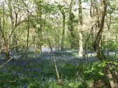 Bluebells in Aversley Woods Sawtry. A wonderful sight.