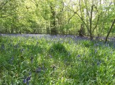 Bluebells in Springtime Aversley Wood Sawtry.