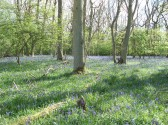 Bluebells in the Spring Aversley Wood Sawtry. A sight not to be missed.