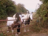 Friendly horses in Sawtry, always in the fields behind All Saints Church.