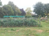 St Judith's Allotments Sawtry. (Looking very productive)