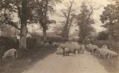 Sheep in Sawtry Road Glatton.
