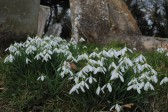 Snowdrops can now be seen in bloom at All Saints Churchyard, Sawtry. (Due to the clean up last year.)
