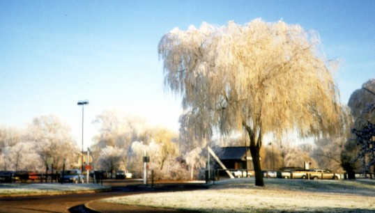 Snow covered willow tree in Riverside Park, Eaton Ford