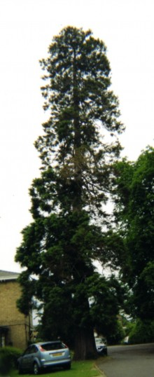 Redwood Tree outside the White House, St Neots Rd, Eaton Ford, in June 2008