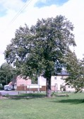 A large old pear tree outside the Barley Mow, Eaton Ford, in 2005